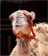 Mum Camel